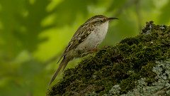 a treecreeper in the shadow of tree (Franck Zumella) Tags: treecreeper bird wildlife grimpereau vie sauvage nature tree arbre green vert manger proie eat eating running trunk tronc leaves feuille wood bois leaf sony a7r tamron 150600