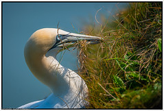Gannet-grass for the nest. (steve.gombocz) Tags: bird outdoor animal outandabout nature wildlife wildlifereserve naturereserve wildlifephotos naturephotos wildlifephotography wildlifephotograph naturephotography wildlifepicture naturepicture bbcspringwatch tier animale flickrwildlife flickrnature grass britishwildlife rspb rspbbemptoncliffs birds ukbird gannet birdwatch birdwatcher birdwatching naturewildlife flickrbirds birdphoto birdpictures colour colours color avian uccello oiseau vogel ave pajaro flickraddicts birdphotography nikon nikonfx nikond850 nikoneurope nikon500mmf4 nikkor