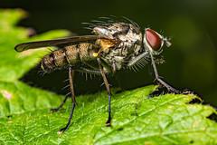 Fly (Shane Jones) Tags: fly diptera insect bug wildlife nature nikon d810 50mmf18 reversed50mmf18 pk3extensiontube pk3x2 macro macrolife macrophotosnolimits macrolicious