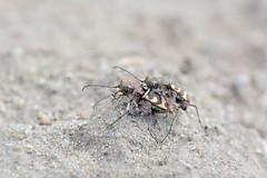 Жучиная любовь) (marussia1205) Tags: жук скакун tiger beetle