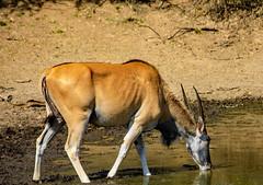 Eland having a drink (Johann (Still Me!)) Tags: eland dikhololo2018 johanndejager ef70300mmf456isusm canoneos5dmarkiv simplysuperb antelope taurotragusoryx