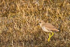 White-TailedLapwing KNP@Rajasthan@India January2019 #whitetailedlapwing #lapwing (drpunyabratabarma) Tags: whitetailedlapwing lapwing