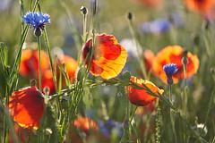 Poppy time (ivoräber) Tags: poppy flower summer meadow red voigtlander voigtländer macro apo