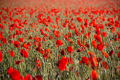 Jour rouge - red day (gopillentes) Tags: coquelicot poppy fleurs flowers field champ nature