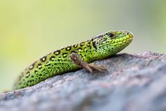 Zauneidechse (MichaelMerl) Tags: zauneidechse lizard nikon dx animal wildlife garden reptile