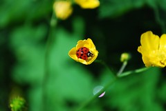 Cutie! (Hulalulatallulahoop74) Tags: ladybird ladybug insect buttercup nature nikond80