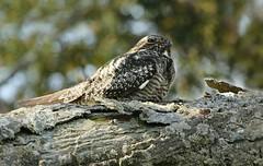 Eastern Whip-poor-will (bearbear leggo) Tags: eastern whippoorwill camouflage bird rare photography ontario outdoors kingston canon karenleggo