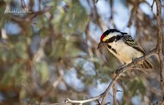 Barbet Acacia Pied (michael heyns) Tags: bird albertenmarietjiefroneman kgalagadi acaciapiedbarbet 2019 africanbarbets lybiidae tricholaemaleucomelas
