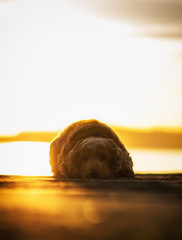 Fudgie! (Anthony_Murray) Tags: dog fudge cocker spaniel english dublin great south wall sunrise morning sea