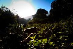 Free Pigs [Explored] (Strocchi) Tags: pigs nature sierramaestra parque nacional turquino cuba santodomingo canon eos6d 24105mm bartolomémasó backlight