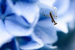 紫陽花 2019 #4ーHydrangea 2019 #4 (kurumaebi) Tags: yamaguchi 秋穂 山口市 nikon d750 nature 花 アジサイ macro hydrangea bug カマキリ mantis