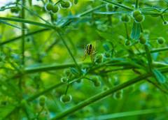 IMG_5780 (gidlark) Tags: spider arthropod flora plant green