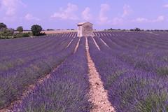 P1140309 (alainazer2) Tags: riez provence france fiori fleurs flowers fields champs ciel cielo sky colori colors couleurs lavande lavanda lavender