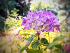 Einfach nur ein schnelles Handyfoto (pyrolim) Tags: hortensie flower blume blüte garten