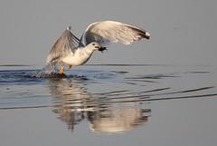 Breakfast time... (Nora077) Tags: yellowlegged gull gaviota patiamarilla spain girona birds noratoth aves