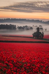 In the Valley (Vemsteroo) Tags: red worcestershire bewdley poppies poppy poppyfield sunrise mist atmospheric ethereal valley severntrent morning outdoors travel landscape canon 5d mkiv 70200mm telephoto colourful dreamy trees nature beautiful flowers wildflowers remembrance