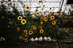 Little Discs of Sunshine (kendoman26) Tags: hss happyslidersunday nikcoloreffex4pro niksoftware sonyalpha sonyphotographing sonya7mk2 sonya7ii samyangaf24mmf28fe flower plainscoreopsis