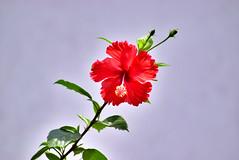 Art and Hibiscus...... (SHAN DUTTA) Tags: hibiscus nikon nikond5300 flower silkyeffect