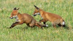 Tagaajamine (ott.rebane) Tags: fox redfox vulpesvulpes chase play nature cub wildlife mammal animal