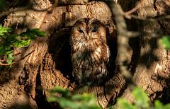 Tawny Owl (KJB Photography.) Tags: tawny owl tree hole bird prey forest fenland grassland lane