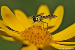 Sirfide _001 (Rolando CRINITI) Tags: sirfidi insetti ditteri macro passodelfaiallo liguria natura