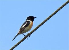 Tarier pâtre (chriscrst photo66) Tags: nikon ornithology ornithologie wildlife nature photography photographie gironde tarierpâtre oiseau animal bird