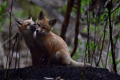 FoxPupsPreening2 (Rich Mayer Photography) Tags: life wild dog dogs nature animal animals cub pups nikon wildlife fox kits cubs kit pup foxes