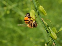 Acrobatic work (libra1054) Tags: bees api abeilles abejas abelhas abelles bienen insects insekten insectos insetti insectes macro nature natura natur