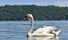 Catching a Ride (hd.niel) Tags: muteswans birds cygnets water lakeontario nature spring wildlife photography photos waterfowl