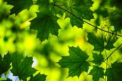 Layered Leaves **Explored** (flashfix) Tags: june222019 2019inphotos flashfix flashfixphotography ottawa ontario canada nikond7100 55mm300mm green lines viens leaves maple tree leaf framed mapleleaf bokeh
