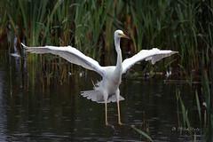Great White Egret (Mike Slade.) Tags: bird flight somerset rspb hamwall england ©mikeslade greatwhiteegret ardeaalba