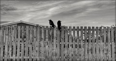 Just Waiting... (Michelle O'Connell Photography) Tags: crow crows bird birdonfence crowonfence fence fencing naturephotography nature blackwhite blackandwhite blackandwhitephotography drumchapel glasgow scotland bankglenroad camstraddenprimaryschool drumchapellifesofar michelleoconnellphotography