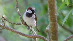 Gråspurv (Lars Emil J) Tags: norway norge wood trees birds bird summer nature nikon nikkor house sparrow gråspurv