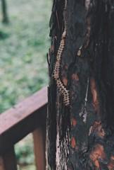 kafile (zahrathgie) Tags: analog photography analogphotography zenitb zenit filmphoto tree caterpillar nature natural