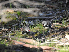 Diamond Firetails at Havelock, near Maryborough (Kerry Vickers) Tags: birds finches firetails
