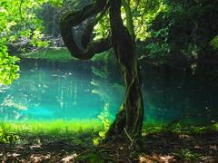 clear, blue water (murozo) Tags: maruike pond yuza yamagata japan water green tree 丸池様 丸池 池 水 緑 青 木 日本 山形 遊佐