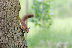 Ekorn (Lars Emil J) Tags: norway norge wood trees summer nature nikon nikkor squirrel