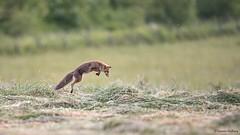 D82_1026 (immersion-nature) Tags: malbrecq sombre animaux animal chimay sauvage nature rapace renardeau etang renard chevreuil foret oiseaux oiseau photographe nuit climat