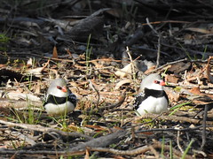 Diamond Firetails at Havelock near Maryborough (Kerry Vickers) Tags: birds finches firetails