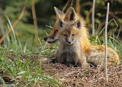 A Red Fox kit with his momma... #15 (Guy Lichter Photography - 5.1M views Thank you) Tags: canon 5d3 canada manitoba wildlife animal animals mammal mammals fox redfox kit female