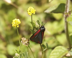 Cinnabar Moth (Englepip) Tags: tyriajacobaeae cinnabarmoth insect flower hampshire