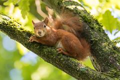 Have a break... (Joachim Dobler) Tags: eichhörnchen eichhoernchen squirrel écureuil ardilla scoiattolo equito nature natur nagetier wildlife animal cute naturephotography squirrellove wildlifephotography bestsquirrel nutsaboutsquirrels cuteanimals ngc