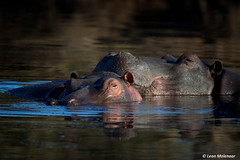 Lazy Sunday morning (leendert3) Tags: leonmolenaar southafrica krugernationalpark wildlife wildanimal wilderness nature naturereserve naturalhabitat hippopotamus mammal ngc npc coth5