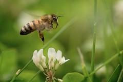 Bees (nicolewitschass) Tags: biene bee bees macro photography nikon 105mm makroshot details insects green insekten nahaufnahme grün flowers blumen summer leaves meadows wiese natur nature natural honey honig close up astonishing secret life geheimnisvoll