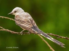 Scissor-tailed Flycatcher (Lindell Dillon) Tags: scissortail scissortailedflycatcher birds birding neotropical nature oklahoma wildoklahoma