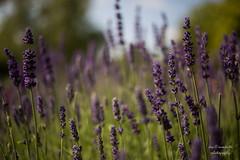 Lavendel (Axel Ku.) Tags: canonef35mmf20 canoneos5dmarkiii badmergentheim kurpark lavendel lavender badenwürttemberg 35mm primelens festbrennweite f20