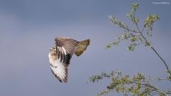 D82_0898 (immersion-nature) Tags: animaux arbre animal sauvage malbrecq rapace nature etang oiseaux oiseau buse birds bois sanglier photographe goupil fox