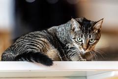 javacatscafe22Jun20190468.jpg (fredstrobel) Tags: javacafecats javacatscafe atlanta places animals ga pets cats usa georgia unitedstatesofamerica