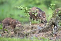 D82_0925 (immersion-nature) Tags: animaux arbre animal sauvage malbrecq rapace nature etang oiseaux oiseau buse birds bois sanglier photographe goupil fox