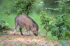 D82_0936 (immersion-nature) Tags: animaux arbre animal sauvage malbrecq rapace nature etang oiseaux oiseau buse birds bois sanglier photographe goupil fox